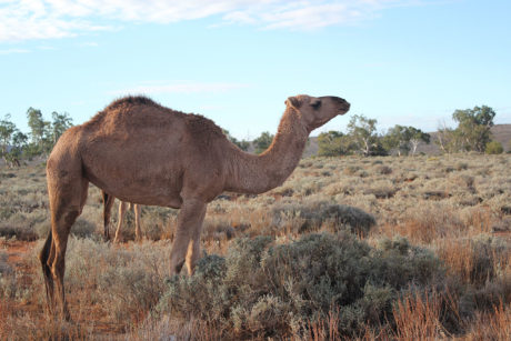 Charlotte Plains - camel - Air Safaris International
