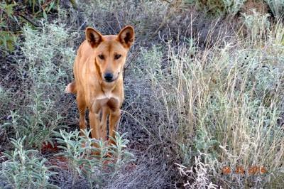 Wild dingo near Uluru