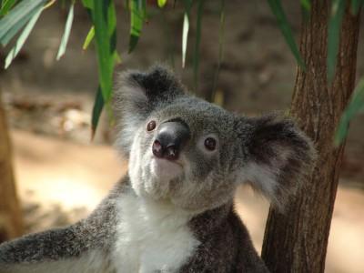 Koala at Hamilton Island